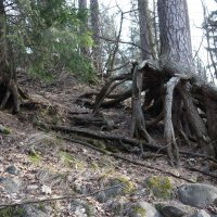 Шагающее дерево :: Елена Павлова (Смолова)