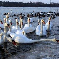 Лебеди :: AstaA