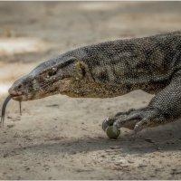 Комодский варан - гигантский индонезийский варан...остров Сапи,Малайзия! :: Александр Вивчарик