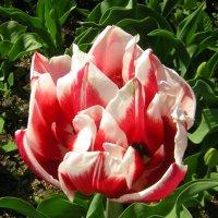 Первый тюльпан :: Ольга