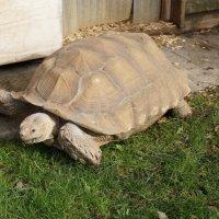 Гигантская черепаха :: Natalia Harries