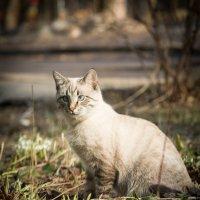 Кот и подснежники :: Мария Корнилова