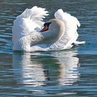Лебедь белый,лебедь гордый! :: Наталья