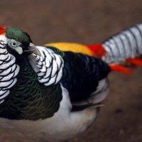 алмазный фазан :: Михаил Бибичков