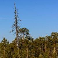 Деревья умирают стоя. :: Анатолий Бахтин