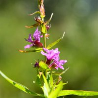 растение :: Мария Пашкова