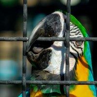 Свободу попугаям!!! :: Александр Григорьев