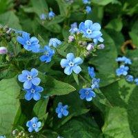 Цветы бруннеры сибирской :: Svetlana27