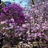 Киевская весна 2015 год (Первые цветы) :: Владимир Бровко