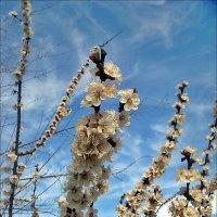 Неудержимо тянулись к небу абрикосовые ветви! :: Нина Корешкова