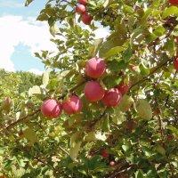 Спелые, сочные, вкусные яблоки. :: Людмила Ларина