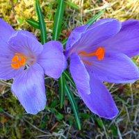 Весенние цветочки :: rimgis