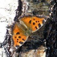 Бабочка на стволе березы :: Анатолий Антонов