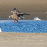 Орланы-белохвосты на рыбалке :: Анна Солисия Голубева