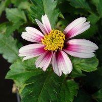 Bidens ferulifolia Pink Printsess / Череда ферулолистная :: laana laadas