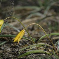 Первые степные тюльпаны :: Marina Timoveewa
