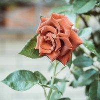 Роза :: Anastasia Bozheva