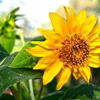 Солнечный цветок :: Николай Шапилов