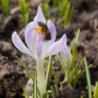 Крокус и пчела . :: Александр