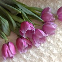 тюльпаны :: Ангелина К