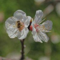 пчела :: VAHE DILANCHYAN