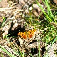 Первая бабочка :: serega.r Романов