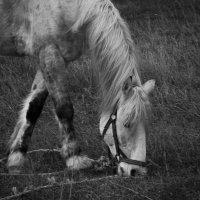 Белогорская лошадка :: Евгений Астахов