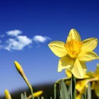 Желтый  нарцисс на фоне  голубого неба :: Милешкин Владимир Алексеевич
