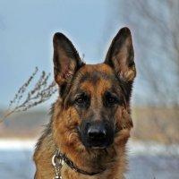 немецкая овчарка Юнита для Сибирских Афин :: Дарья Буренок