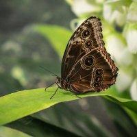 Бабочка :: Сергей Форос