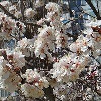 Пышное цветение абрикоса :: Нина Корешкова