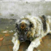 О чем грустит  собака...Наверно о жизни собачьей!! :: Людмила Богданова (Скачко)