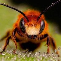 Пчела :: Tina ***