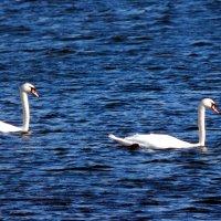 лебеди :: linnud