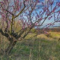 В персиковом саду :: Игорь Кузьмин