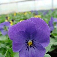 Viola x cornuta Rocky Blue For You :: laana laadas