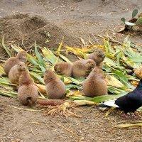 Суслики и голубь в Будапештском зоопарке :: Денис Кораблёв