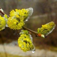 Верба цветет. :: Олег Петрушин
