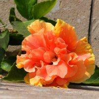 Гибискус(китайская роза) :: Евгений Дубинский