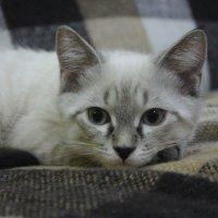 Кота :: Юлия Кологреева