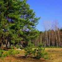 Дыхание весны коснулось леса :: Ирина Подольская