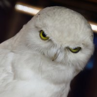 Белая сова. :: Анатолий Сидоренков