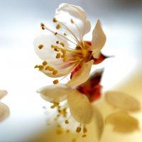 цветение абрикоса :: Алена Рыжова