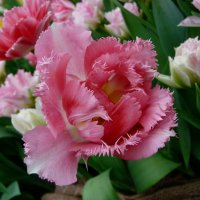 Тюльпаны :: Наталья (Nata-Cygan) Цыганова