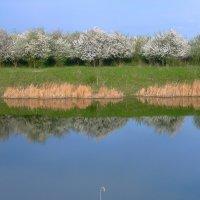 Вдоль берега цветет абрикос :: Lara