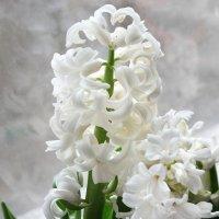 белый гиацинт :: Борис Иванов