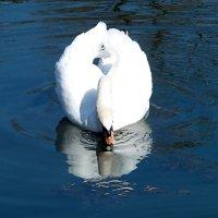 Лебедь и отражение. :: Наталья