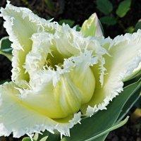 Белый бахромчатый тюльпан :: Елена Павлова (Смолова)
