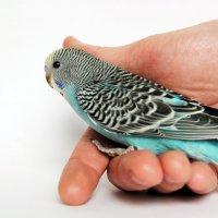 Волнистый попугай :: Лариса Вишневская
