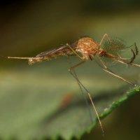 комар :: sergej-smv
